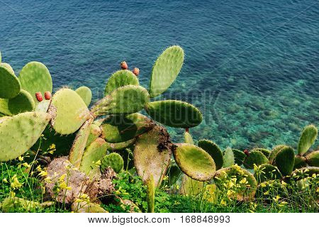 Thorny cactus near the sea, flora Sicily