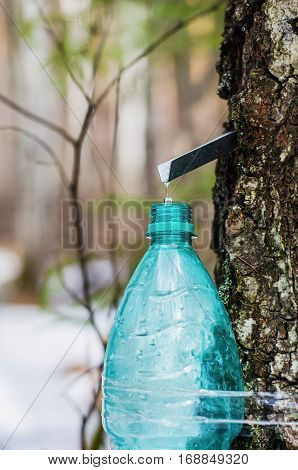 The collection of birch SAP. A drop of birch SAP drops in an empty container