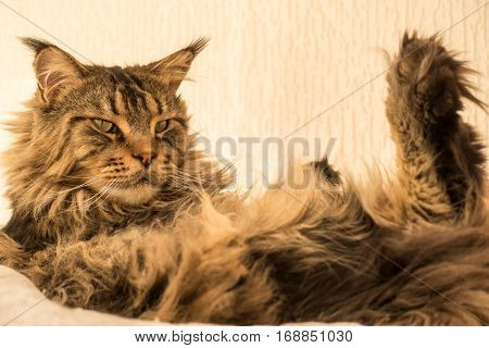 Cute brown tabby Maine Coon Cat with long and dense lynx tips on top of his ears is sitting on the hammock of his cat tree on his back with his hind legs up in the air. Focus on face. Shallow DOF.