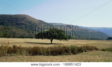 A single umbrella acacia on a harvested field in autumn, in the background mountains, landscape in the Mpumalanga province in South Africa