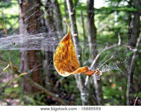 yellow sheet tree raddled in web
