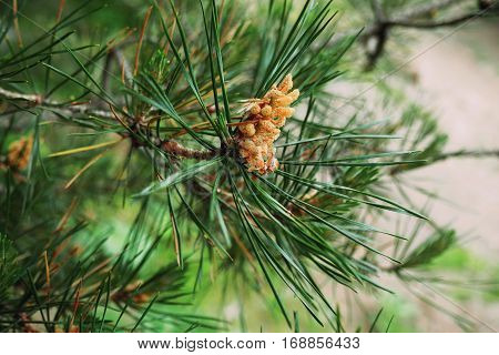 The branch of a pine. Pine needles. Macro. Trees. Greenery.