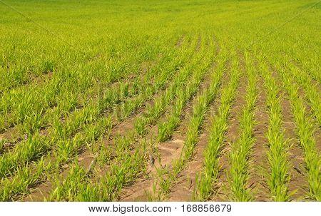 Corn field. Close up on Corn field in spring