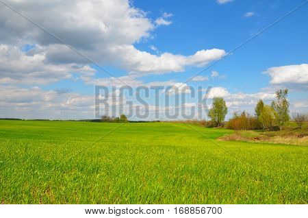 Corn field. Beautiful corn field with cloudscape and trees