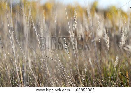 Dry Grass, Panicle