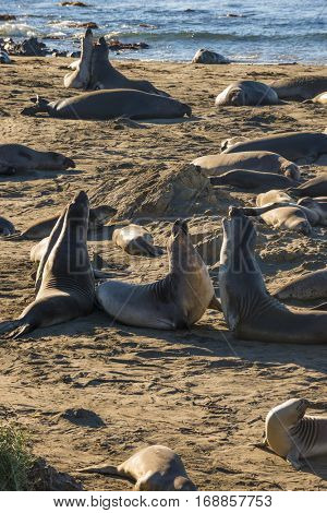 Rare recovering population of elephant seals wintering on beach in San Simeon California