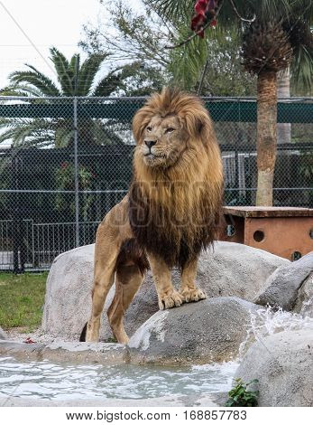 Lion standing intense watch over his territory