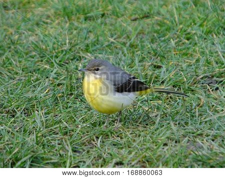 Colorful grey wagtail as seen during winter