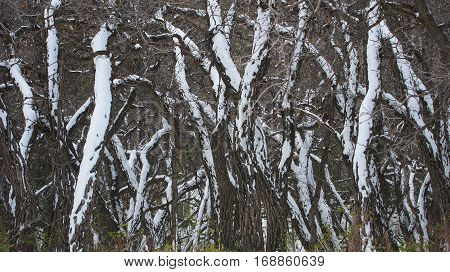 Scrub oak trees covered in fresh snow