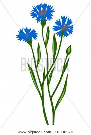 vector drawing of the flower cornflower on white background