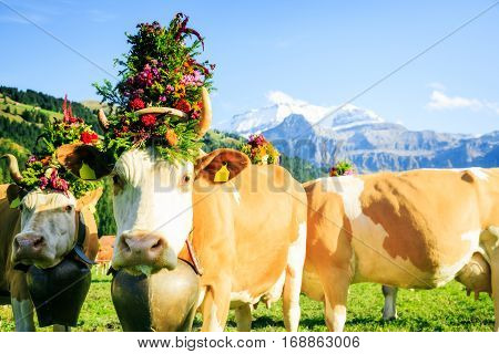 these cows have been decorated with flowers for the aelplerfest, the 'alp descent' festival in lenk.