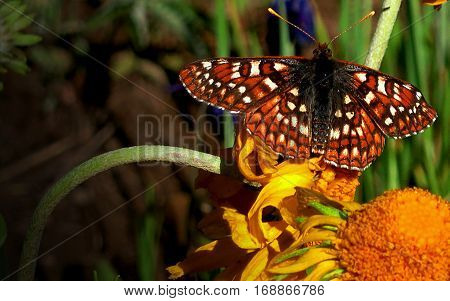 Large Monarch Butterfly perched on a wildflower