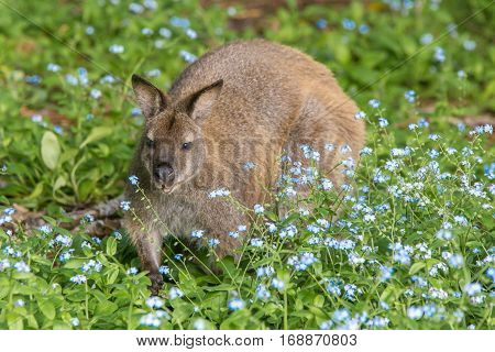 Bennett's wallaby among wild flowers on Bruny Island Tasmania