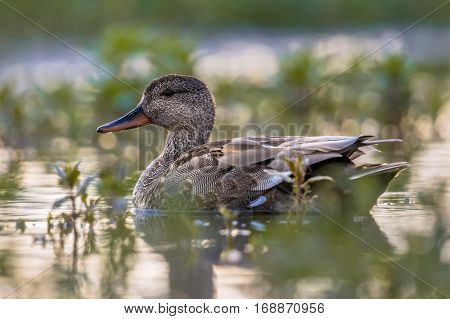 Male Gadwall Swimming In Wetland Under Morning Light