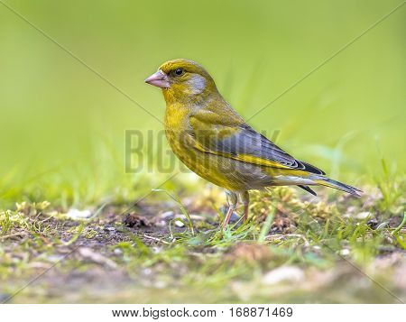 European Greenfinch In Backyard With Green Background