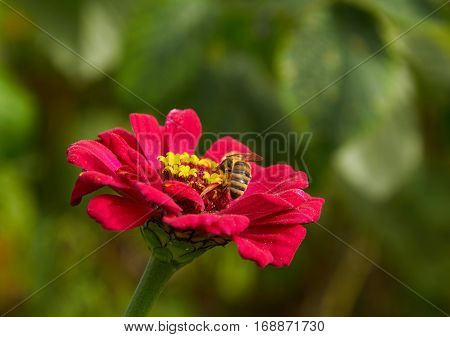 Stipped bee is pollinating bright red flower of zinnia