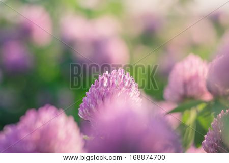 Wild meadow of pink clover flower bloom in green grass field in natural soft sunset sunlight of spring time. Summer outdoor landsccape with pastel colors of beautiful countryside nature blossom