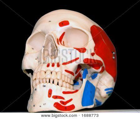 Model Of A Human Skull
