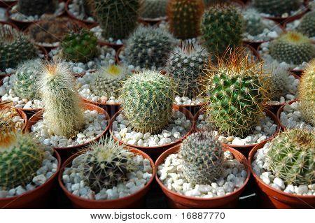 cactuses on plant fair