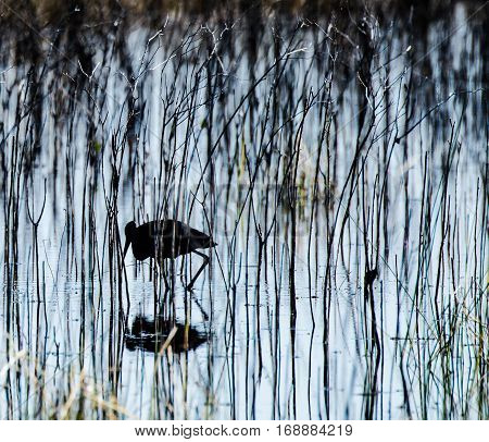 a silhouetted ibis in the grasses of a marsh with its shadow
