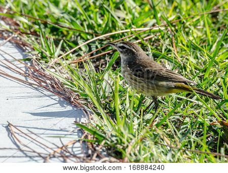 A yellow palm warbler in the green grass next to a sidewalk
