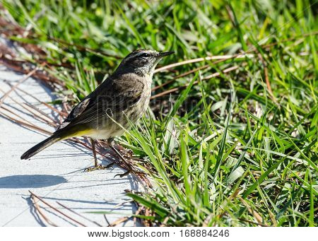 A yellow palm warbler on the edge of a concrete walk