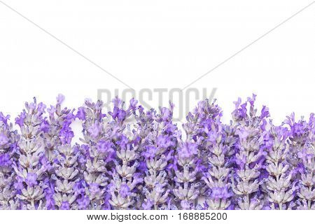 Lavender flowers border over white background. Large file.