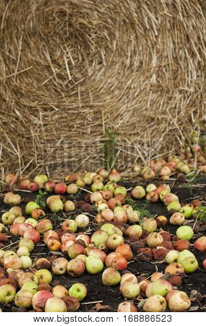 fallen apples mixed with rotten on the ground near the haystacks