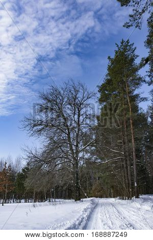 Under the snow road in a pine forest in winter
