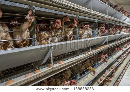 Baby chicken in a poultry farm in the cells