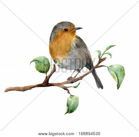 Watercolor robin sitting on tree branch with leaves. Hand painted spring illustration with bird isolated on white background. Nature print for design