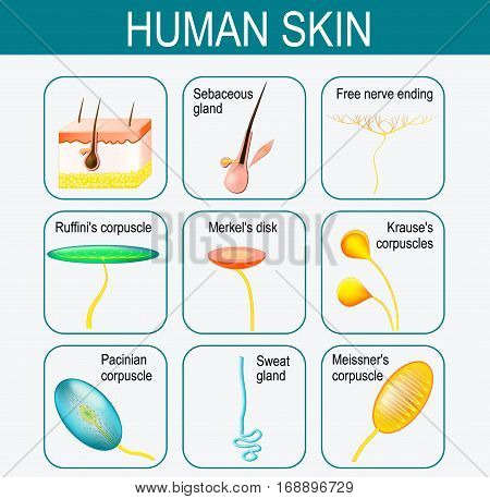 Elements of the human skin. Set icons. glands and sensory system in the skin. Pressure vibration temperature pain and itching are transmitted via special receptory organs