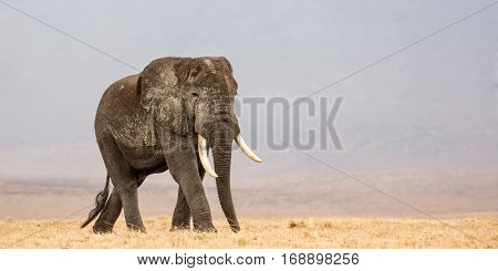 Adult african bull walking to the next waterhole inside the Ngorongoro Crater, Tanzania