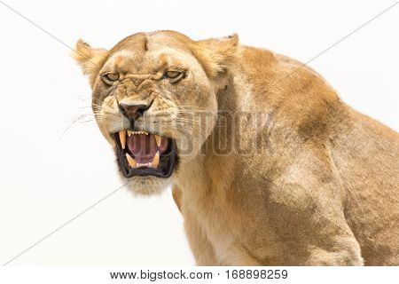 Lioness displays dangerous teeth during the visit of human tourists to his