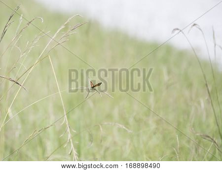 Viceroy butterfly perched on a weed in a meadow