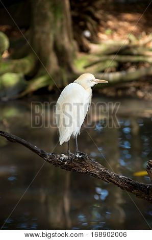cattle egret or bubulcus ibis bird perched on tree limb above water in tropical wetland