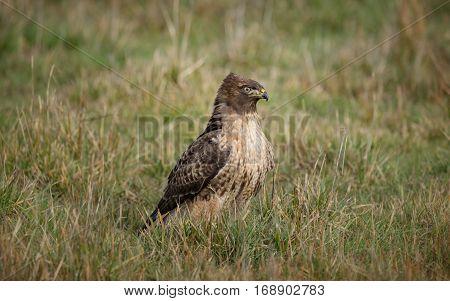 A wild hawk in nature sitting on grass.