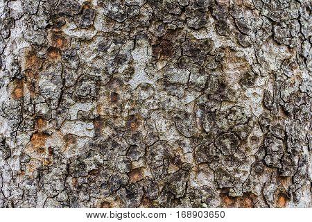 Wood Texture, Detailed Texture Of Lit Poplar Bark