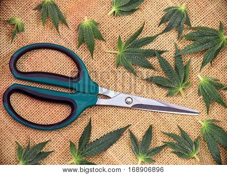Cannabis leaves over hemp burlap background with trimming scissors - medical marijuana concept