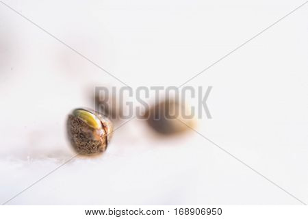 Macro detail of marijuana seeds sprouting over white background - cannabis growing concept