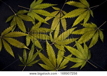 Dried cannabis leaves pattern isolated over black background - medical marijuana concept