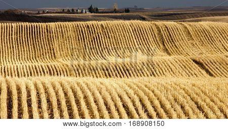 Stubble Rows Saskatchewan farming harvest contour Scenic