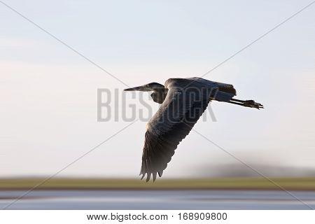 Blue Heron Saskatchewan prairie swamp Canada scenic in flight