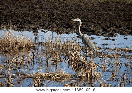 Blue Heron Saskatchewan prairie swamp Canada scenic