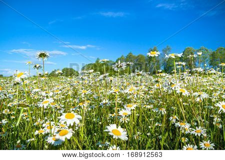 summer rural landscape with a field and blue sky. flowers camomiles on meadow. blossoming chamomiles