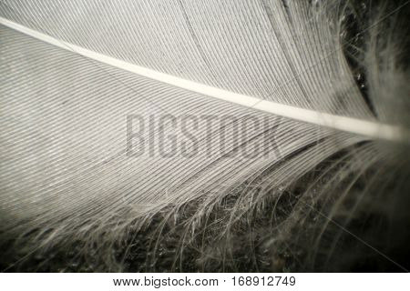 White duck or goose feather as seen under a microscope. Photographed at 1000 times its actual size.