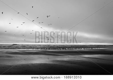 thousands of migrating geese in Kalaloch Beach Olympic National Park Washington State USA