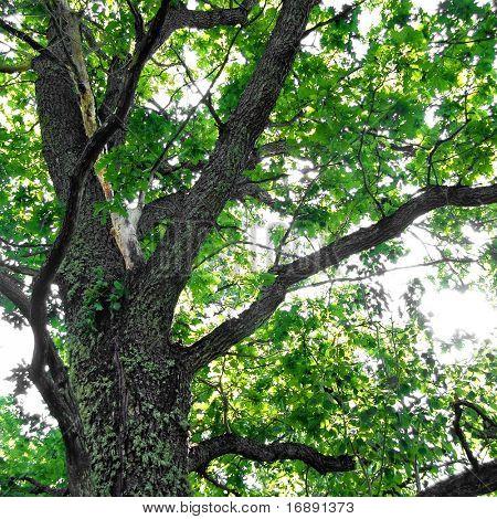 branch of the oak