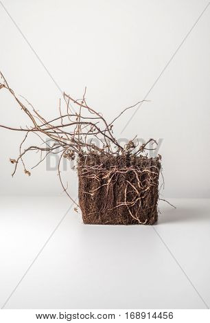 Block of dried soil with exposed root of a plant on white background. Conceptual studio shot of natural element.