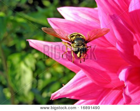insect on petal of the dahlia poster